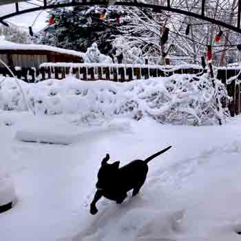 black dog running trhough the snow